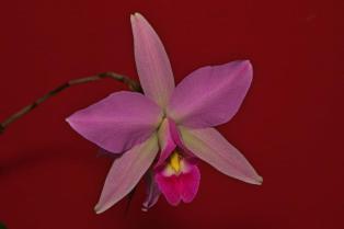 Cattleya unknown