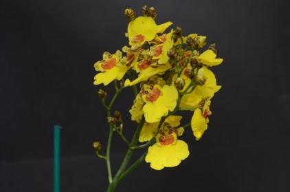 Onc hybrid Goldiana