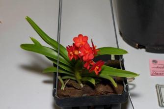 Open seedling Vanda Curvfulianum Class 27 Champion Seedling Flowering for the First Time - E&T Stiles