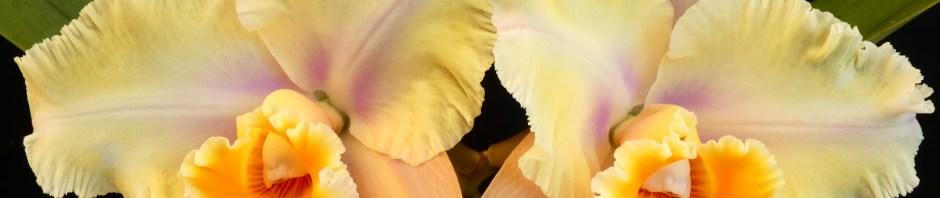 Rlc. Mount Isa 'Jean' x Glenn Maidment 'Southern Cross',south east Melbourne, Melbourne, orchid clubs, orchid societies, OSCOV, orchid photos, orchid care, orchid pictures, orchid images, orchid shows, orchid newsletters, orchids on Facebook, orchids of Twitter, Moorabbin, Bentleigh, Brighton, Hampton, Sandringham, Black Rock, Beaumaris, Bayside Council, Bayside district, Kingston, Bayside Melbourne, SE Suburbs, Parkdale, Mordialloc, Carnegie, Cheltenham, McKinnon, Highett, Oakleigh, Clarinda, Heatherton, Clayton, Dingley, Elsternwick, Caulfield, Ormond, Glenhuntley, Murrumbeena,