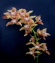 Cymbidium 'Doris' (tracyanum x insigne} #2