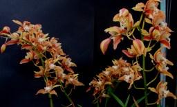 Cymbidium tracyanum 'Doris' #1