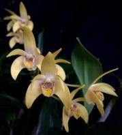 Dendrobium Gracillium x Falcorostrum
