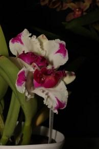 Cattleya mericlone 'Enchanted' (Novice)