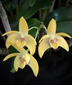 Dendrobium Gracillimum x Dendrobium Falcorostrum