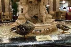 One of the Peabody Hotel ducks hanging out in the fountain.