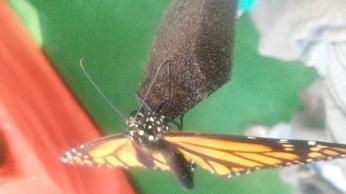 Feeding a butterfly.