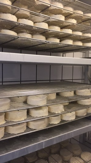 cheese fridge! --mold on top making camembert