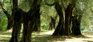 olive grove in Perugia
