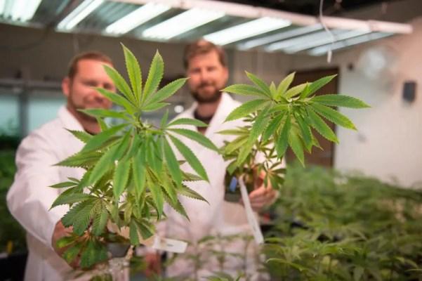cannabis caregivers