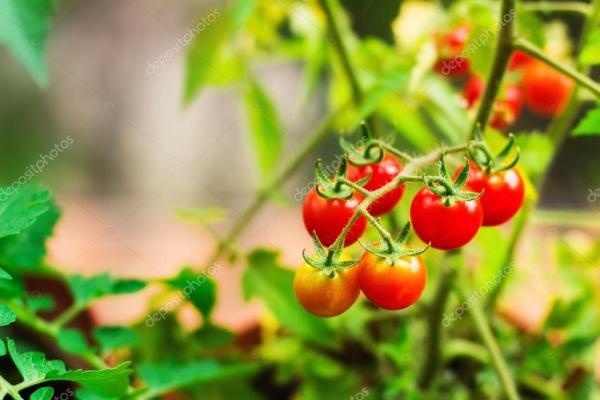 Помидоры черри в саду — Стоковое фото © anatema #30139349