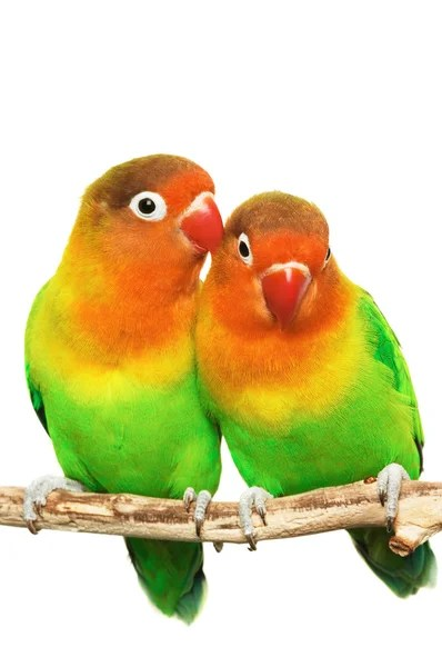 Áˆ Lovebirds Stock Pictures Royalty Free Love Birds Images Photos Download On Depositphotos