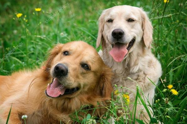 Портрет двух молодых красоты собак — Стоковое фото ...