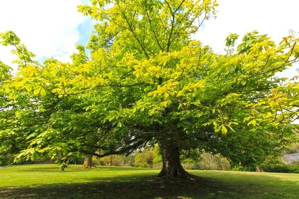 ᐈ Каштановое дерево фото, фотографии каштан дерево осенью ...