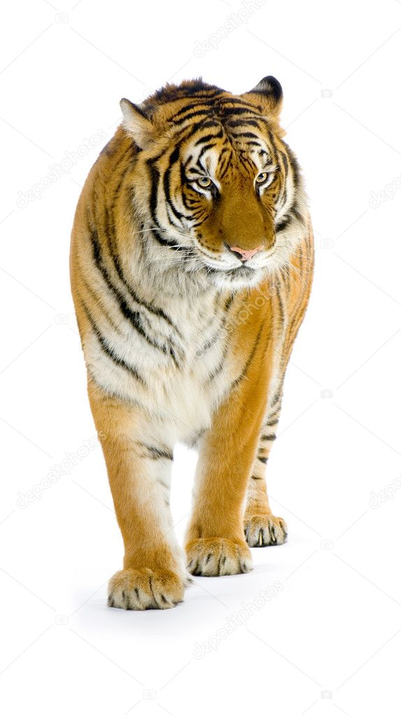 Áˆ A A Tiger Stock Pictures Royalty Free Tiger Pics Download On Depositphotos