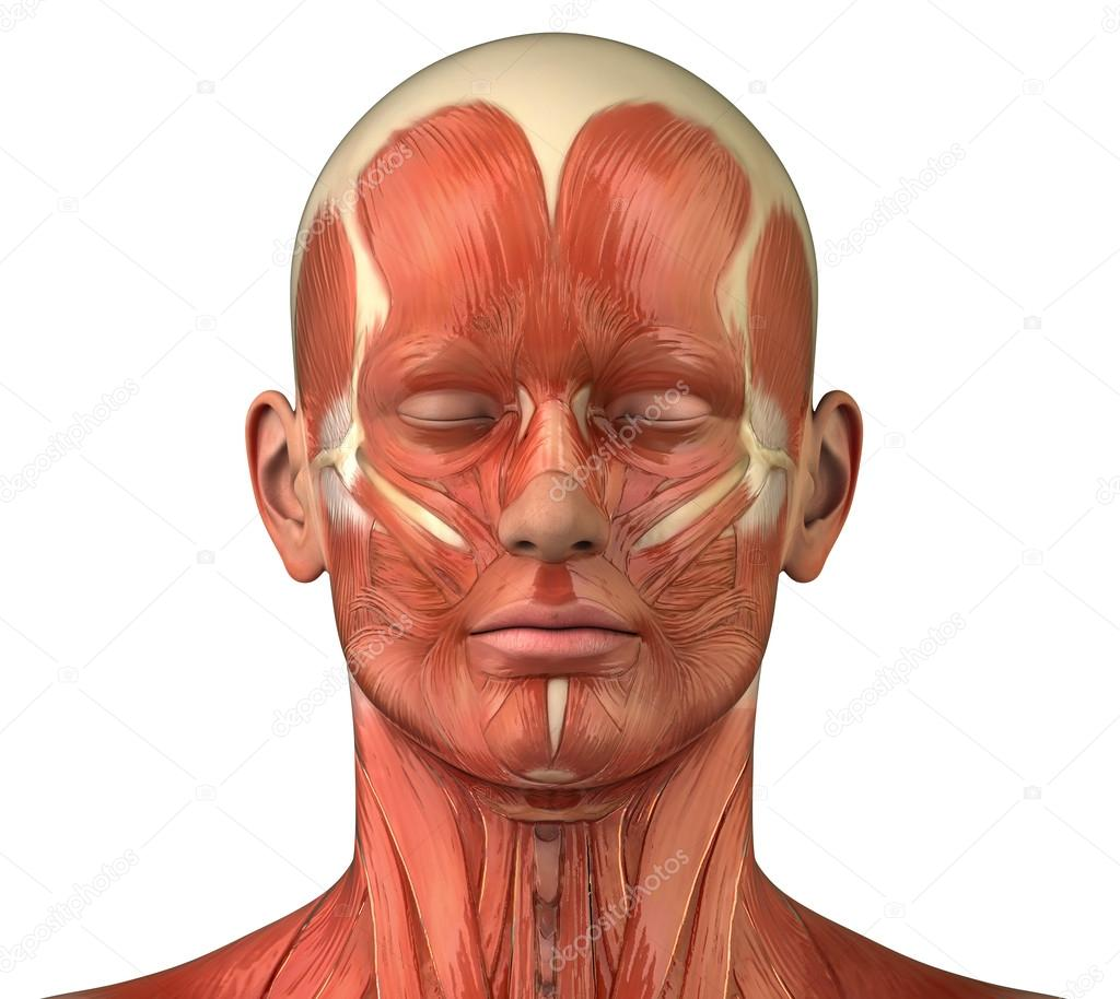 Anterior View Of Face Muscles