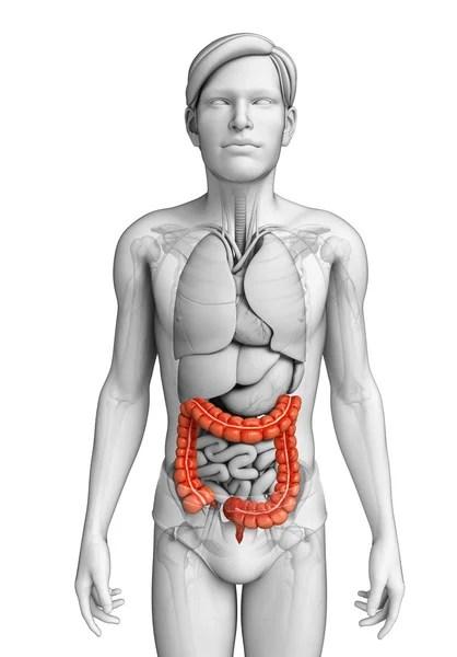 Анатомия мужской толстой кишки — Стоковое фото ...