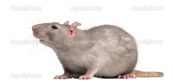 Внутренние крыса, глядя, изолированные на белом — Стоковое ...