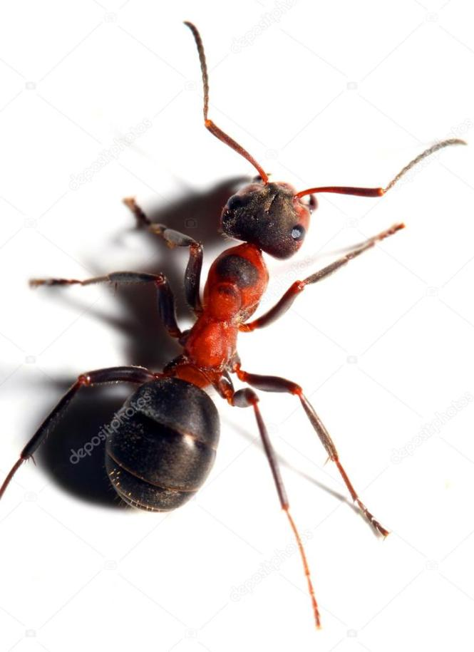 Big Red Velvet Looking Ant What Is This Dasymutilla Occidentalis Female