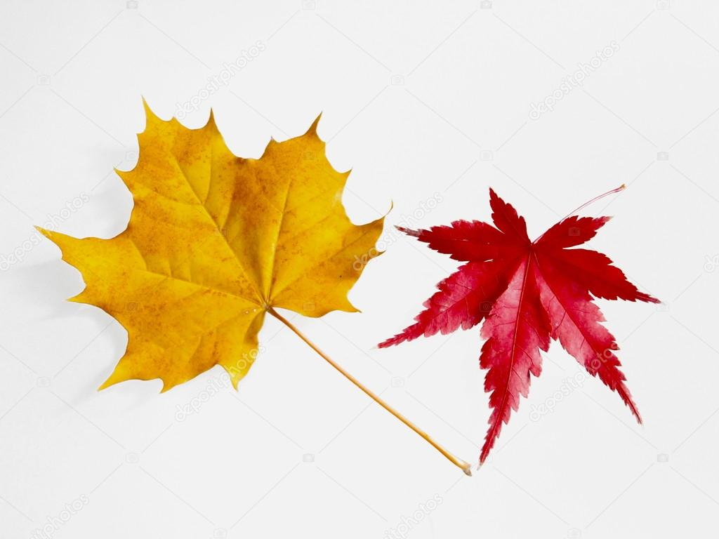 Yellow Planetree Leaf And Red Maple Tree Leaf Isolated On