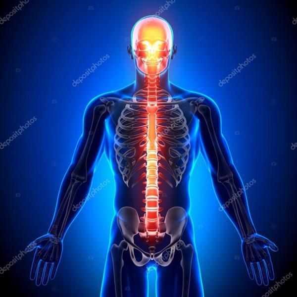 Анатомия бегущего человека. Позвоночника - Анатомия костей ...