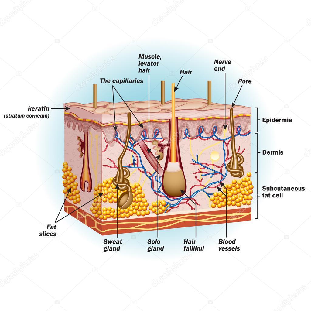 Skin Cells Diagram