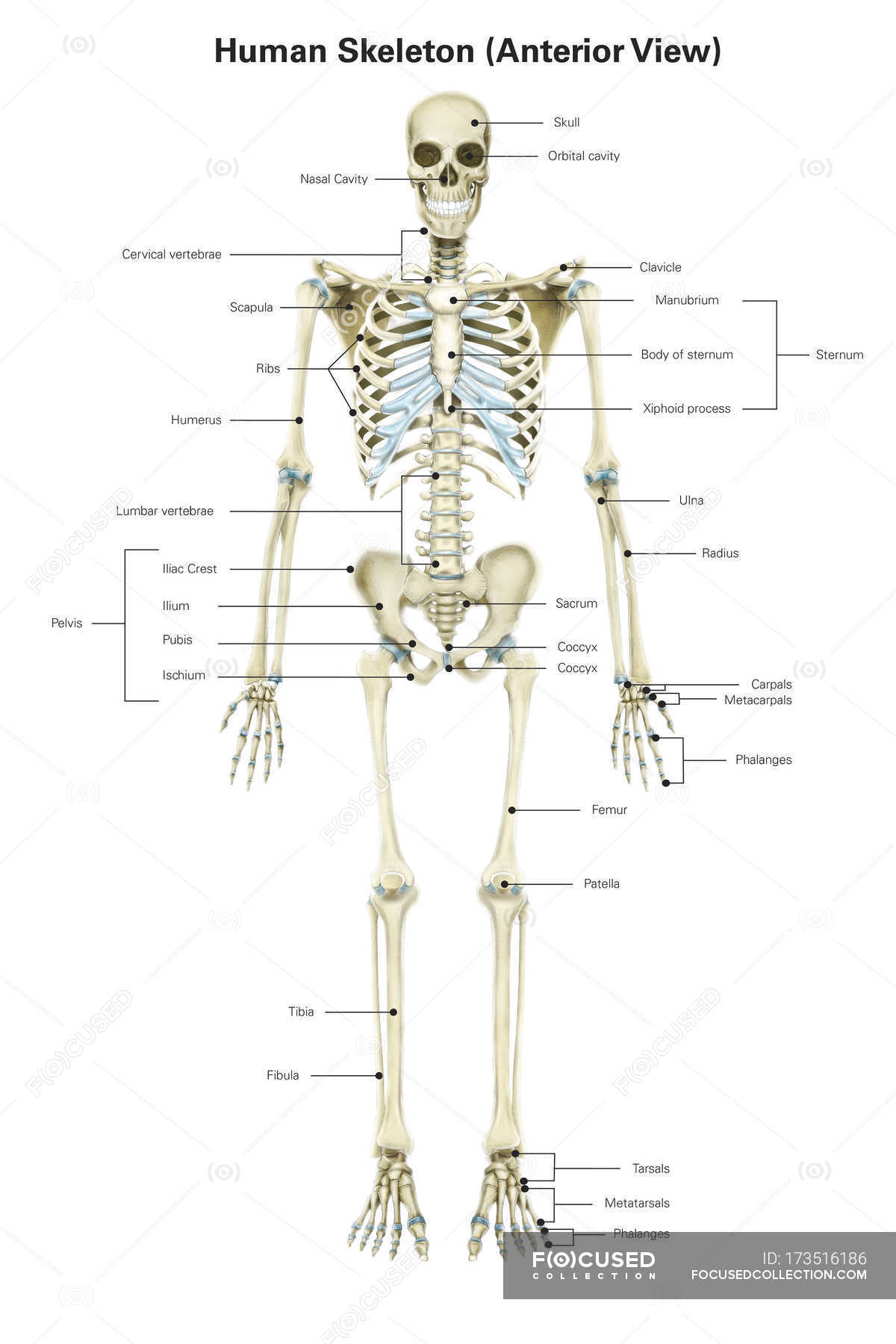 Human Skeletal System With Labels Vertical View