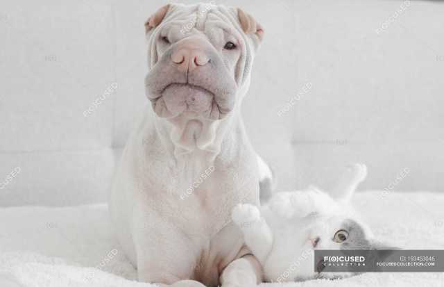White Chinese Shar Pei