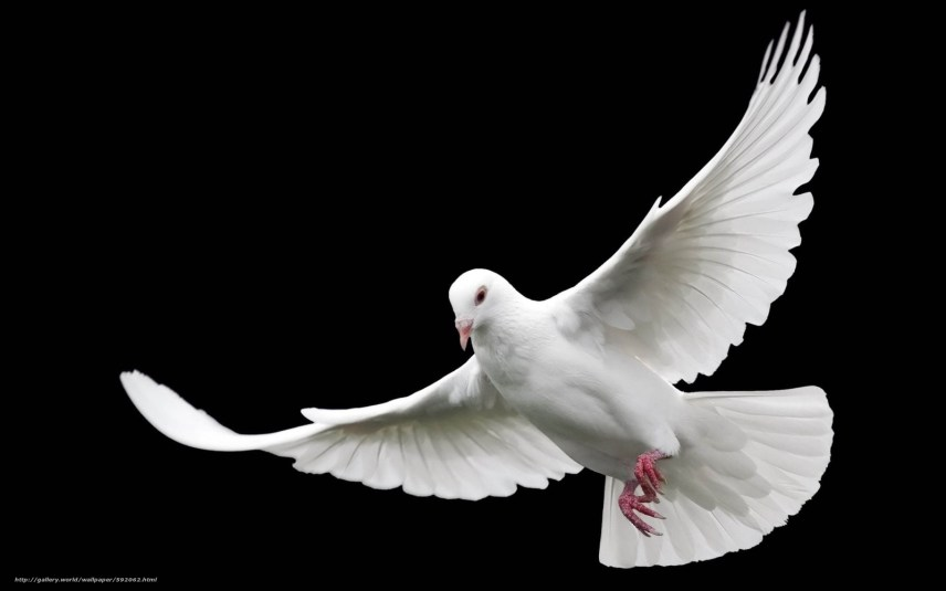 descarca imagini de fundal pasăre,  porumbiță,  fundal negru Imagini de fundal gratuite pentru rezoluia desktop 1920x1200 — imagine №592062