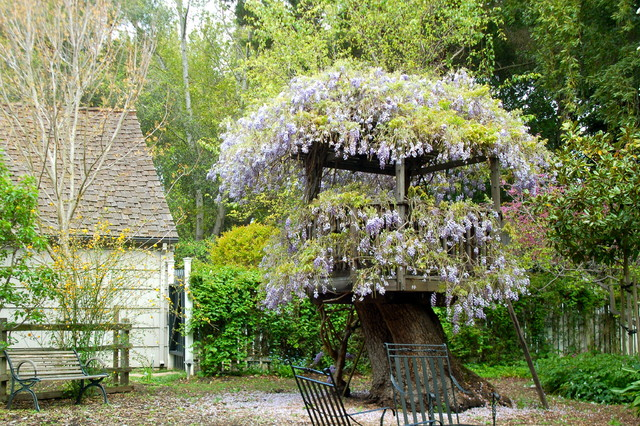 traditional landscape Wisteria on Atherton fort
