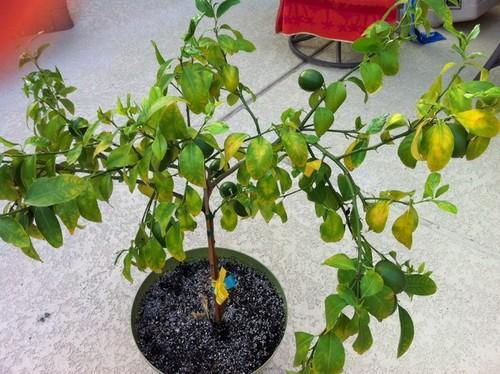 Meyer Lemon Yellow Leaves