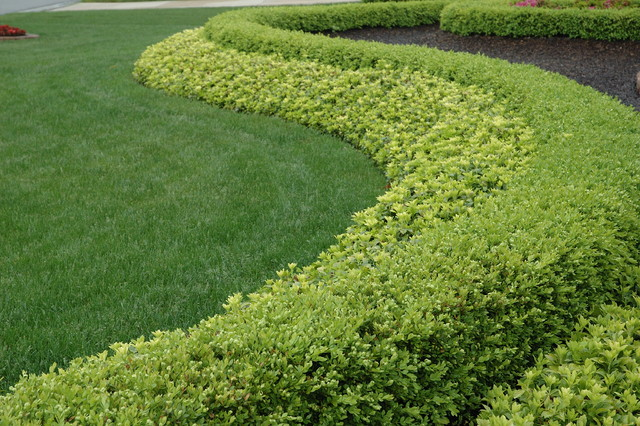 Strong Statement Hedge Row Boxwood And Pachysandra Traditional Landscape Detroit By Land
