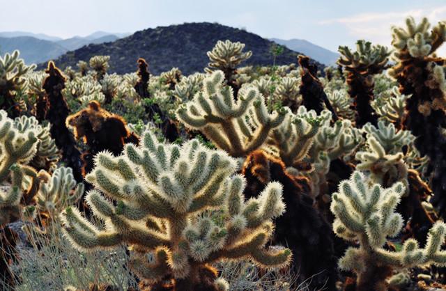 "Creative Boulevards ""Cholla Cactus Garden Landscape"