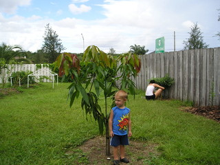 Seedling Mango Tree Success In Jacksonville FL