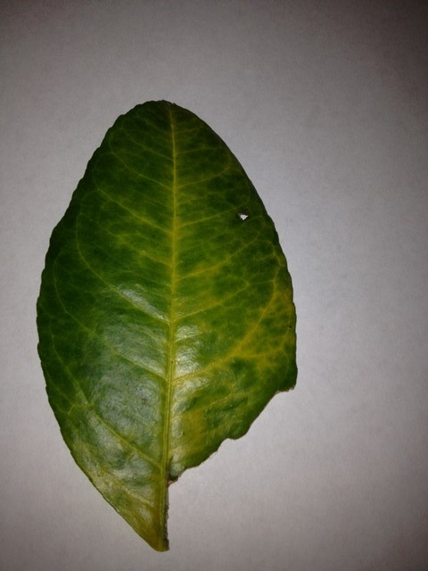 Meyer Lemon Yellow Leaves