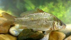 Как выглядит рыба сазан