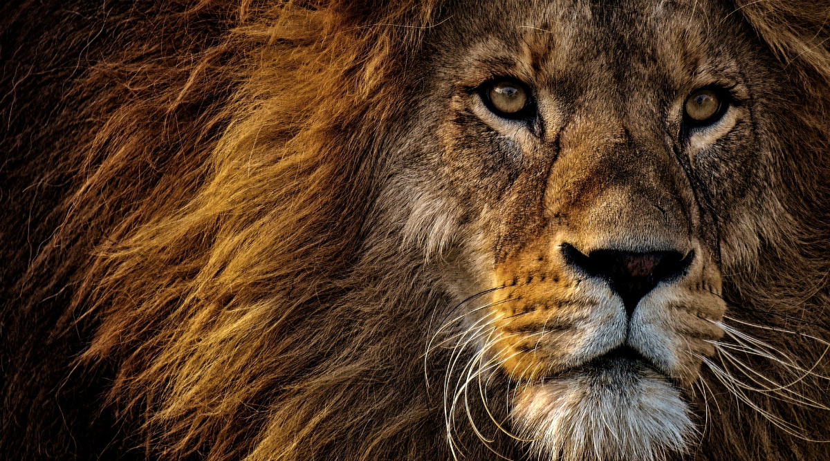 Viral News Unable To View Lion In 3d In Your Space Here Re Hd Wallpapers Photos Of Lions For Free Download Latestly
