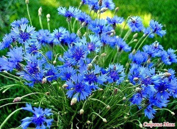 Мои любимые цветы. Васильки. - Страна Мам