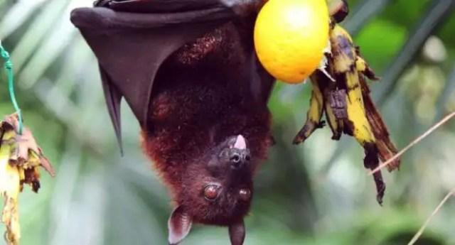 Image result for bat eating fruit
