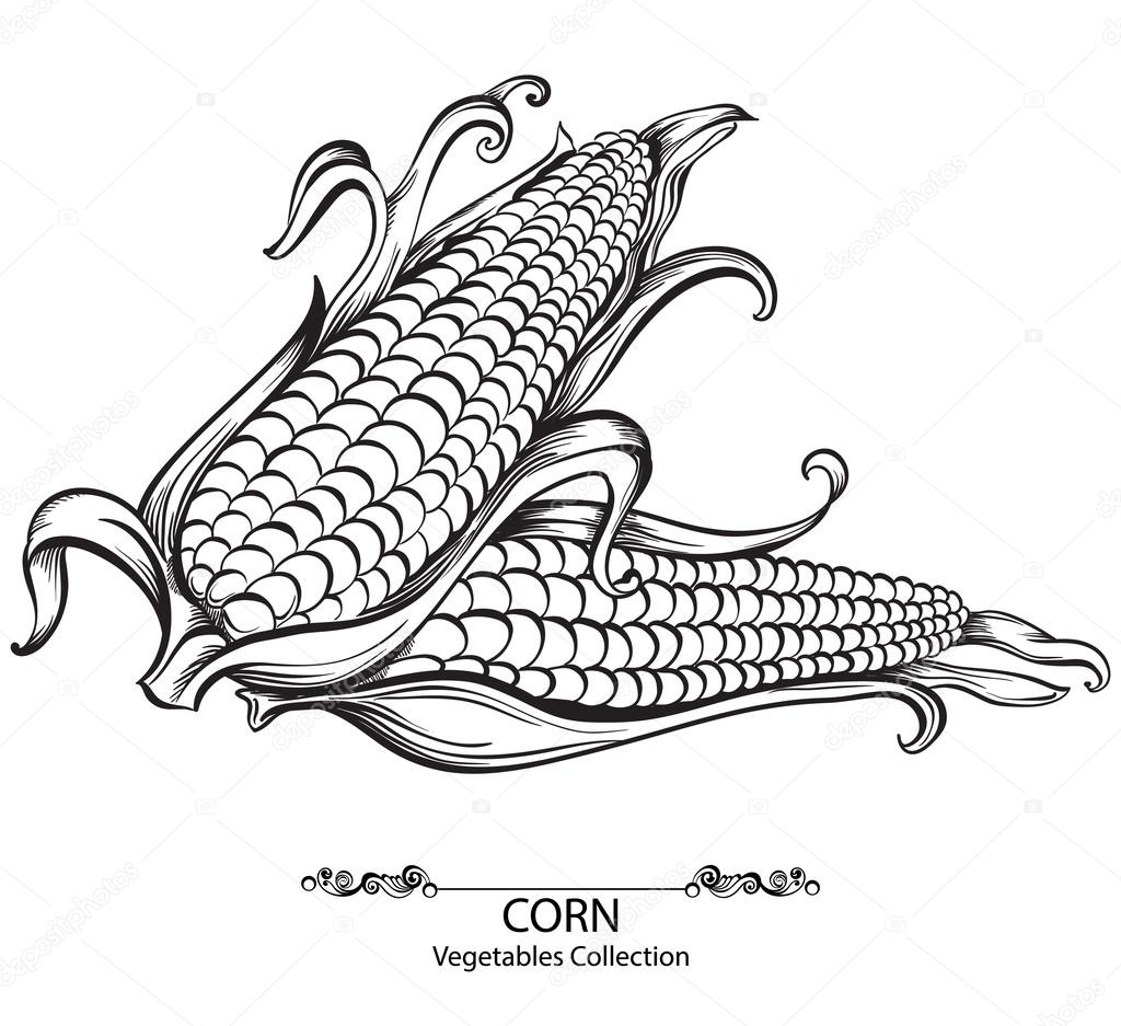 Sweet Corn Vector Hand Drawn Vegetables Isolated On White