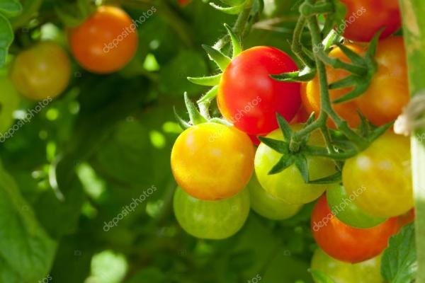 Доморощенные помидоры черри — Стоковое фото © karandaev ...