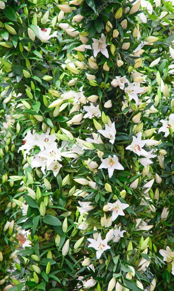 Цветущие лилии в саду — Стоковое фото © swisshippo #117005178