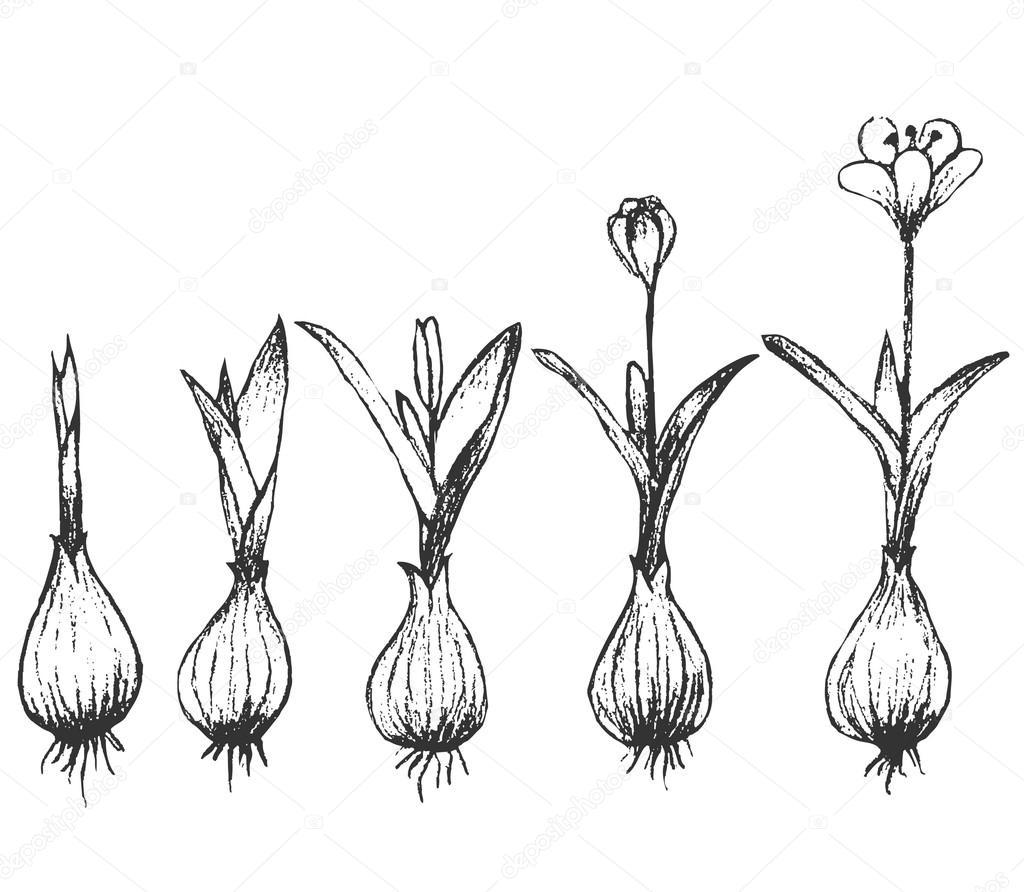 Boceto Vectorial De Cebolla