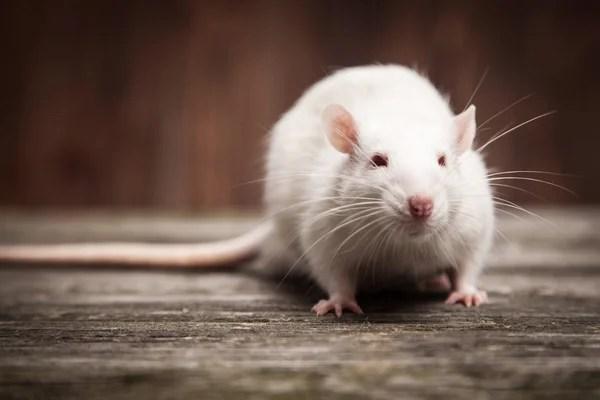 Домашняя крыса — Стоковое фото © gdolgikh #86655534
