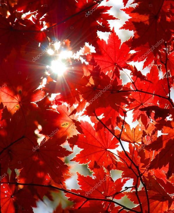 Осенний орнамент, красные листья клена — Стоковое фото ...
