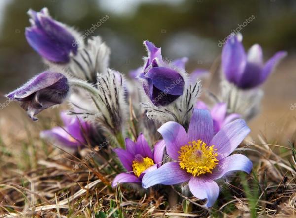 Красивый синий цветок pasqueflower на лугу — Стоковое фото ...