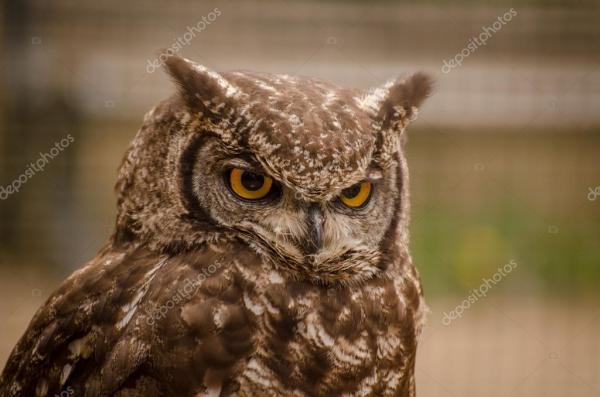 Фото злой совы. Злой ушастая сова — Стоковое фото © KatSov ...