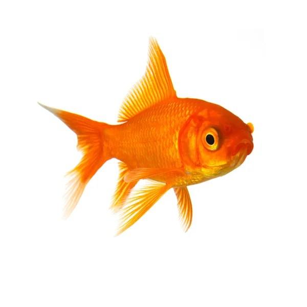 потрясен, Золотая рыбка, изолированные на белом backg ...
