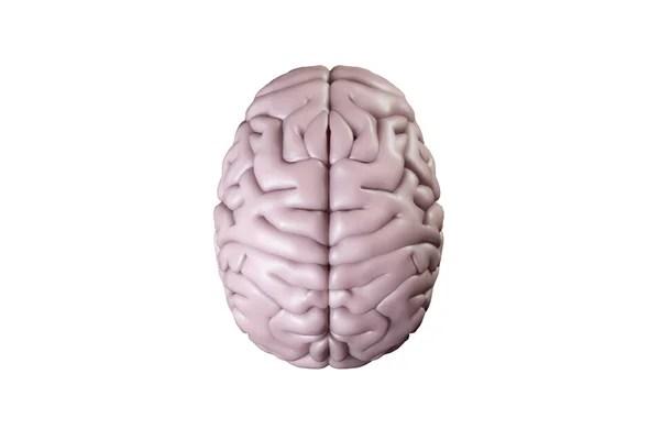 Картинках: мозг человека в. Человеческий мозг, вид сверху ...