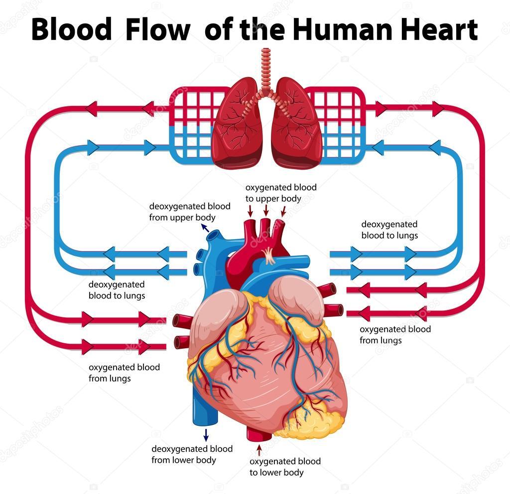 Diagrama Mostrando O Fluxo De Sangue Do Coracao Humano